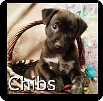 German Shepherd Dog/Jack Russell Terrier Mix Puppy for adoption in Rancho Cucamonga, California - Gibbs