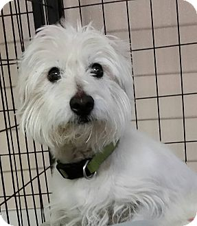 Westie, West Highland White Terrier Dog for adoption in Urbana, Ohio - Lexi