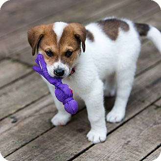 Australian Cattle Dog/Terrier (Unknown Type, Medium) Mix Puppy for adoption in Minneapolis, Minnesota - Dennis