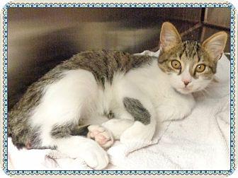 Domestic Shorthair Kitten for adoption in Marietta, Georgia - RANGER