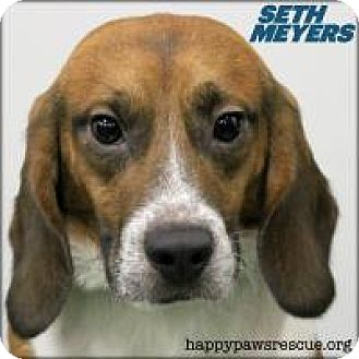 Beagle Dog for adoption in South Plainfield, New Jersey - Seth Meyers