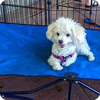 Maltese/Poodle (Miniature) Mix Dog for adoption in Henderson, Nevada - Mojito