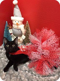 Bombay Kitten for adoption in Houston, Texas - Middie