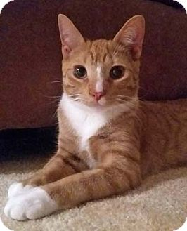 Domestic Shorthair Kitten for adoption in Merrifield, Virginia - Secretariat