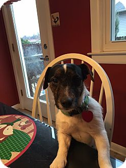 Jack Russell Terrier Dog for adoption in Blue Bell, Pennsylvania - Petey