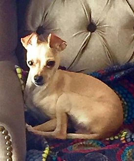 Chihuahua/Italian Greyhound Mix Puppy for adoption in Evergreen, Colorado - Cianni