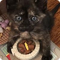 Adopt A Pet :: Tortie BABY Kitten w/ Sister - Burbank, CA