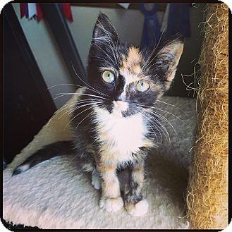 Domestic Shorthair Kitten for adoption in Nashville, Tennessee - Hera