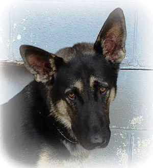 German Shepherd Dog Puppy for adoption in Oswego, Illinois - Yaeger