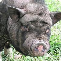 Adopt A Pet :: Hamlet - Germantown, MD