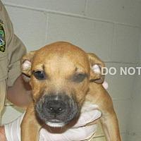 Adopt A Pet :: Fairamay - Rocky Mount, NC