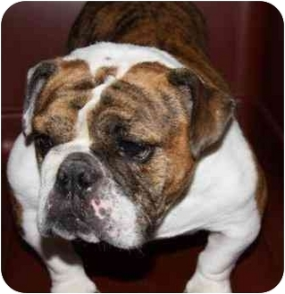 English Bulldog Dog for adoption in Park Ridge, Illinois - Georgia
