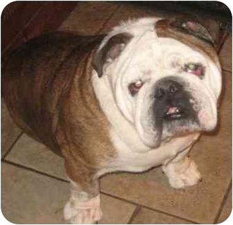 English Bulldog Dog for adoption in San Diego, California - Hercules
