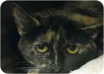 Domestic Shorthair Cat for adoption in Houston, Texas - Tatiana