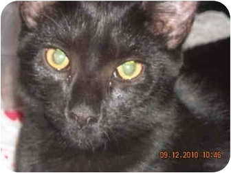 Domestic Shorthair Kitten for adoption in Riverside, Rhode Island - Panther