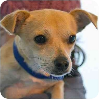 Chihuahua Mix Puppy for adoption in Berkeley, California - Leonard
