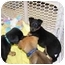 Photo 1 - Blue Heeler Mix Puppy for adoption in Kellogg, Idaho - Puppy 2 & 3