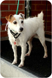 Jack Russell Terrier Mix Dog for adoption in Los Angeles, California - VERONICA