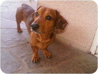 Dachshund Mix Dog for adoption in Edmonton, Alberta - Odie