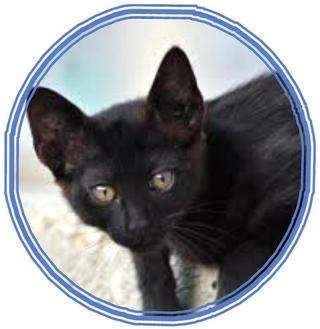 Domestic Shorthair Kitten for adoption in Sugar Land, Texas - -Taylor