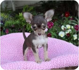 Dachshund/Chihuahua Mix Puppy for adoption in Newport Beach, California - MIA