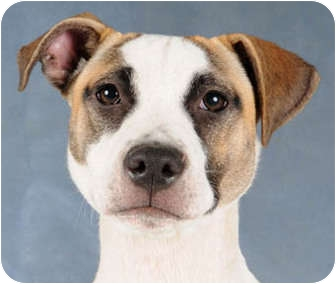 Boxer/Beagle Mix Puppy for adoption in Chicago, Illinois - Reese