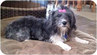 Schnauzer (Miniature) Mix Dog for adoption in El Cajon, California - Lady