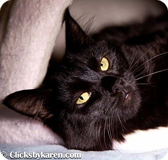 Domestic Mediumhair Cat for adoption in Hyde Park, New York - Emily