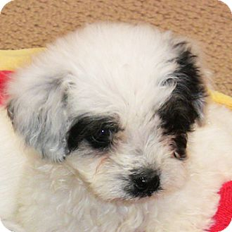 Lhasa Apso/Bichon Frise Mix Puppy for adoption in Poway, California - Panda Bear