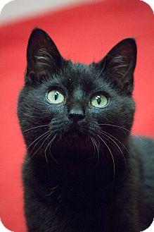 Bombay Kitten for adoption in Chicago, Illinois - Swing