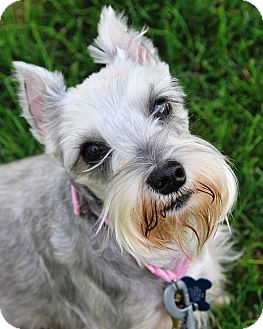 Miniature Schnauzer Dog for adoption in Sharonville, Ohio - Britta