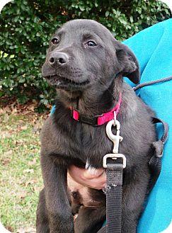 Labrador Retriever Mix Puppy for adoption in Starkville, Mississippi - Kit-Kat