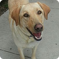 Adopt A Pet :: Cotton(ADOPTED!) - Chicago, IL