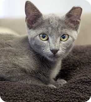 Domestic Shorthair Kitten for adoption in Huntsville, Alabama - Gray C