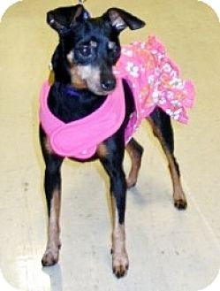 Miniature Pinscher Dog for adoption in Sacramento, California - Ellen