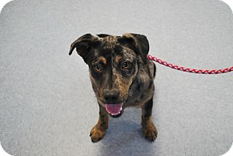 Catahoula Leopard Dog Mix Dog for adoption in Buffalo, Wyoming - Willy