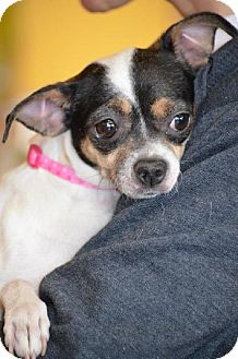 Chihuahua/Terrier (Unknown Type, Medium) Mix Dog for adoption in Indianapolis, Indiana - Faye