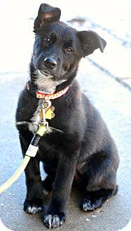Australian Cattle Dog/Border Collie Mix Puppy for adoption in Delano, Minnesota - Jewel