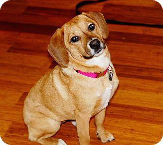 Beagle/Labrador Retriever Mix Dog for adoption in Charlotte, North Carolina - Abby