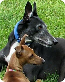 Greyhound Dog for adoption in Knoxville, Tennessee - Fast Glory