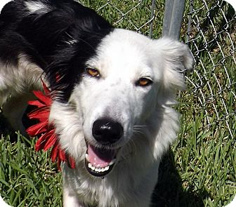 Border Collie Mix Dog for adoption in San Leon, Texas - Keela