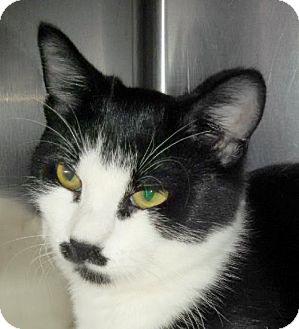 Domestic Shorthair Kitten for adoption in Maquoketa, Iowa - Tux