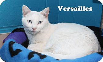 Domestic Shorthair Cat for adoption in Oakland, New Jersey - Versailles