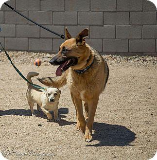 German Shepherd Dog Mix Dog for adoption in Phoenix, Arizona - Roxy