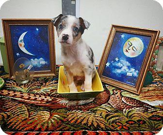 Australian Shepherd/German Shepherd Dog Mix Puppy for adoption in Fredericksburg, Texas - Reece