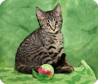 Domestic Shorthair Cat for adoption in Marietta, Ohio - Snickerdoodle (Sasha's Kitten)