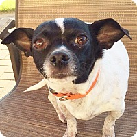 Adopt A Pet :: Dodger - Romeoville, IL