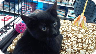 Domestic Mediumhair Kitten for adoption in Sterling Hgts, Michigan - Spencer