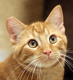 Domestic Shorthair Cat for adoption in San Diego, California - Twinkie