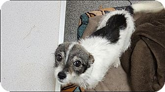 Terrier (Unknown Type, Small) Mix Dog for adoption in Williamsburg, Virginia - Roxy